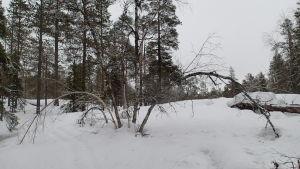 Lumi taivuttaa puunrunkoja.