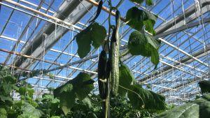 Gurkor på planta i växthus