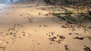 Hundspår på strand