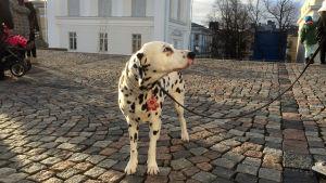 Dalmatiner på fredsmarsch