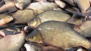 braxen fisk