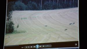En video av en vargflock visas i en mediespelare på en dator.