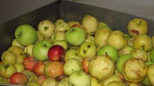 Kantstötta äppel i en låda.