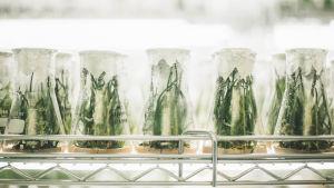 kasvinjalostusta laboratoriossa