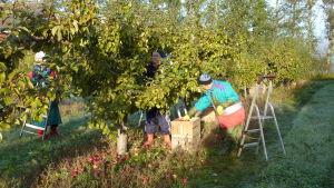 Kvinnor plockar äppel