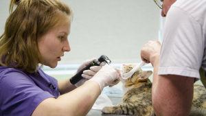 Eläinlääkärikandi tutkii kissan suuta