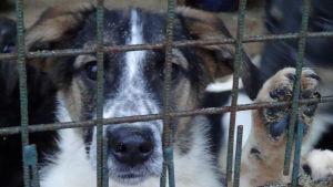 Katukoiria viipurilaisessa koiratarhassa odottamassa uudelleensijoitusta.