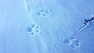 Käpälän jäljet lumessa.