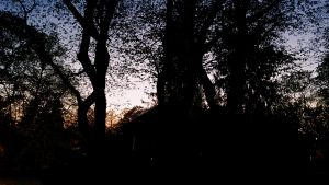 Träd i skymningen