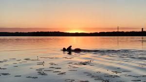 MIkko Peltola ui Lohjanjärvessä