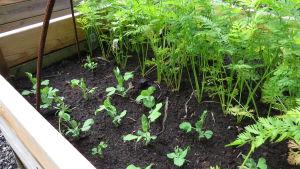 Ett trädgårdsland med ärtskott och morötter.