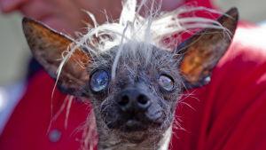 SweePee Rambo oli Maailman rumin koira -kilpailun kakkonen 2014.