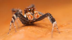 Portia-suvun hyppyhämähäkki