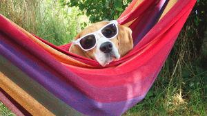 En hund i solglasögon i en färggrann hängmatta.