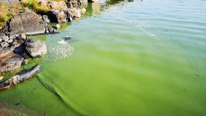 Cyanobakterier vid Hanaholmen, Esbo.