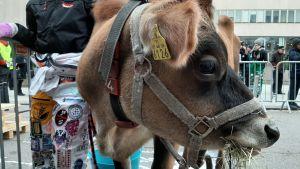 Orawa-lehmä