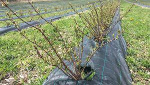 Haskap pensaita kasvamassa Kepilä 10 -tilalla Heinolassa.