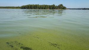 Cyanobakterier vid en simstrand.