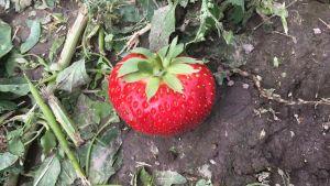 Kuvassa näkyy yksittäinen iso mansikka.