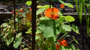 Orange krasseblomma i odlingslåda