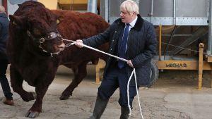 Boris Johnson försökte tukta en tjur då han besökte en lantgård nära Aberdeen i Skottland 6.9. 2019