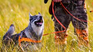 Jakthund med orange koppel bredvid en jägare som bara syns med halva kroppen.