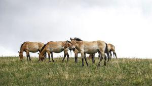 Bild på hjord med vildhästar som betar mot en molnig himmel.