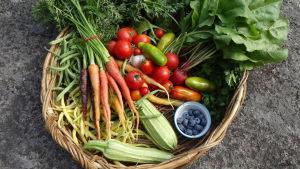 Grönsaksskörd på Västankvarn