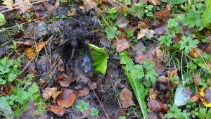 Spår efter hjortdjur i våt mark.