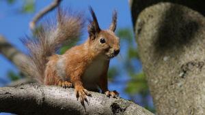 en ekorre i sommardräkt sitter på en trädgren