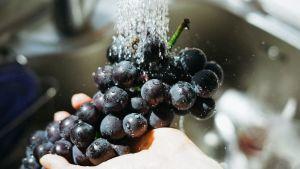 Viinirypäleitä pestään.