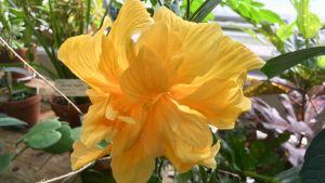 En gul hibiskusblomma på nära håll.