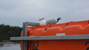 En mås ligger och ruvar i ett bo ovanpå en räddningsflotte på Högsarfärjan.