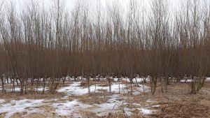 Energiapajupelto kasvaa Liperin Siikasalmessa.