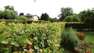 En grön häck. I bakgrunden skymtar ett gult hus.