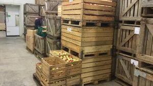 Äppellådor på Polli trädgårdsforskningscenter i Polli
