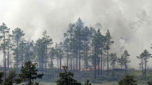 Brinnande skog