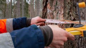 Fiskars skogschef Robert Lindholm meter omfånget på ett lärkträd.