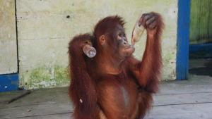 En apa håller i en plastflaska i sin hand och dricker ur en annan med sin andra hand.