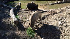 vildsvin äter mördarsniglar