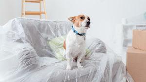 En hund sitter på en soffa som är överdragen med renoveringsplast.