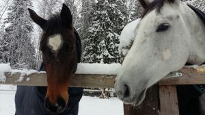 Några av hästarna hos Sofia Kuula.