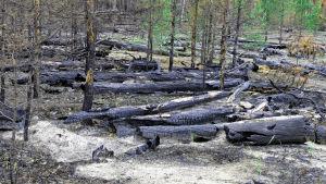 Metsäpalon jälkeen Siperiassa puut ovat hiiltyneitä