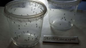 Zikaviruset sprids genom myggor.
