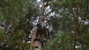 Man i kamouflagekläder sitter på en ställning uppe i ett träd.