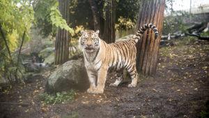 Tiikeri Korkeasaaressa.