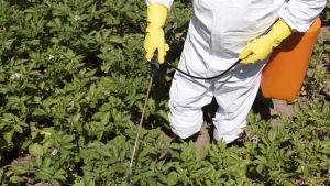En person sprejar en odling med bekämpningsmedel.