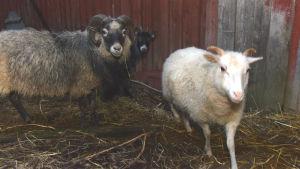 Ett vitt Ålandfsfår som är ett lamm, den mörkare är en vuxen tacka.
