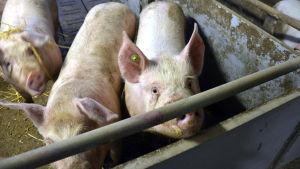 Tre grisar inne i ett svinhus.