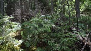 Omkullfallna granar i tät skog.